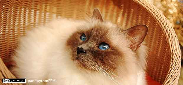 chat birman de birmanie