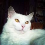 chat blanc aux yeux cruivre