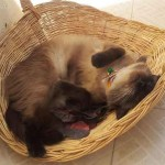 Chat qui dort dans corbeille