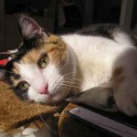 Joli chat tricolore