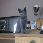 chaton couleur bleu