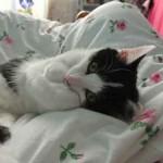 Chat noir et blanc sur une couette