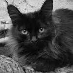 Image chat noir poils longs