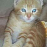 chaton trigré roux