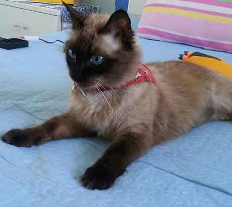chaton aux yeux bleu trop mignon petit chaton mignon