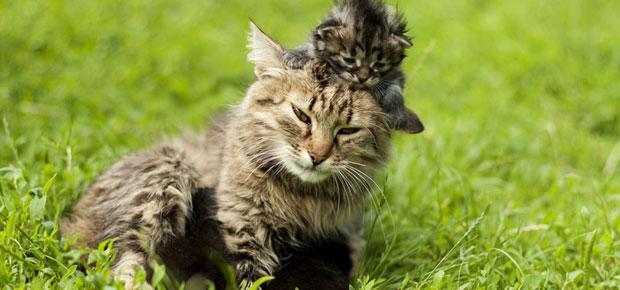 la famille des chats