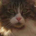 photo tete maine coon