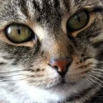 Portrait tete de chat de face
