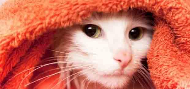 donner un bain à un chat