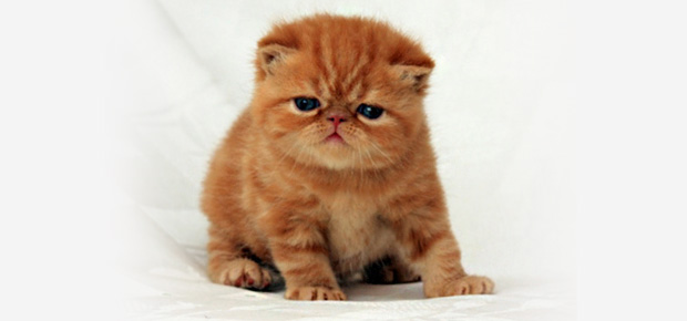 races de chats avec photos