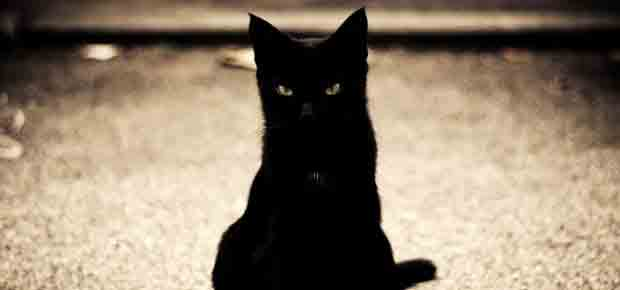 race de chat noir