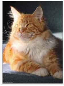 chat roux couleur nom de chat roux tout savoir avec tout pour mon chat. Black Bedroom Furniture Sets. Home Design Ideas