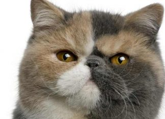Exotic Shorthair chat de race