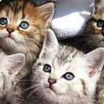 Adopter un chat de race ou de gouttière