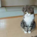 Chat avec une perruque