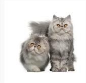 chat couleur gris