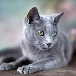 chat robe bleu russe