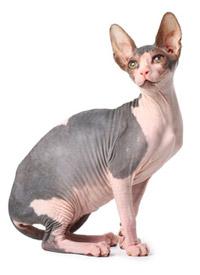 chat sphynx sans poil