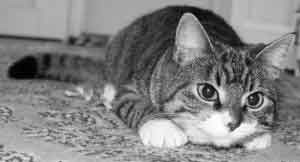 destresser-un-chat
