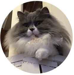 teddy chat british longhair profil