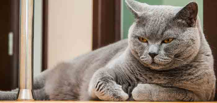 faire maigrir mon chat