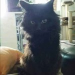 Chat noir à poil long