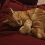 chat rayé roux