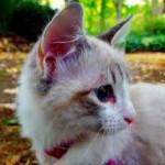 chaton blanc ragdoll