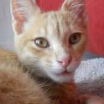 chaton couleur roux
