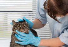 Enlever une tique du chat