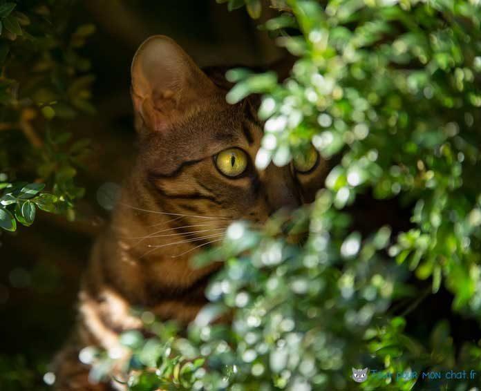 Le Chat Bengal Peut Il Vivre En Appartement
