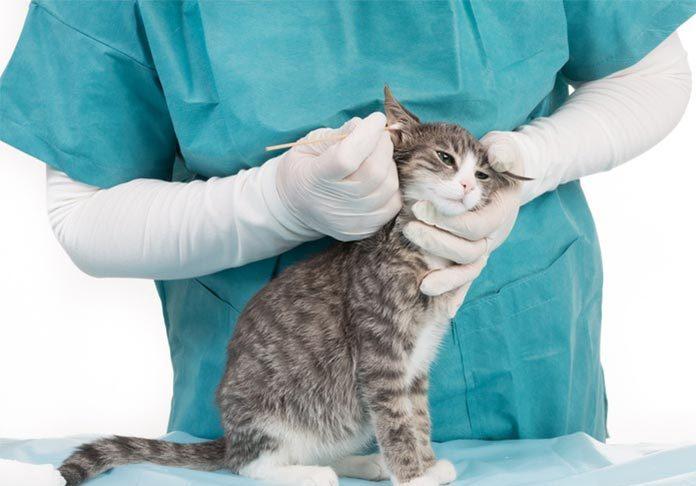 gale du chat traitement et symptomes