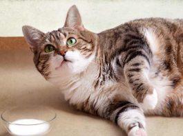 donner du lait à un chat