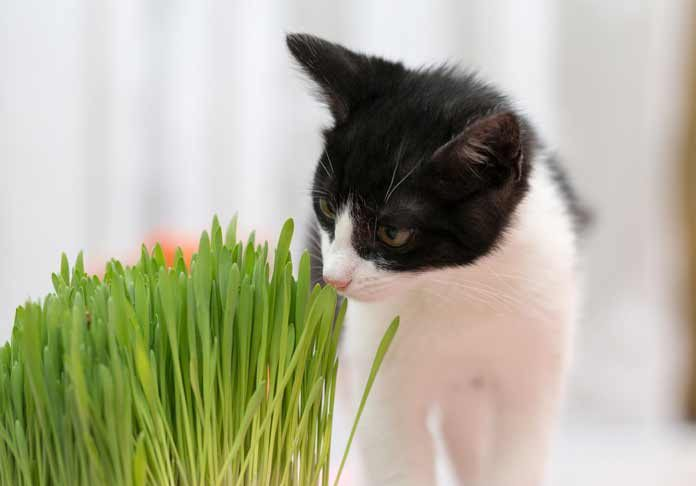 pourquoi-chat-mange-aime-herbe