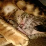 Photo chaton tigré dort avec sa maman