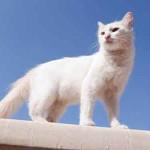 chat blanc sur un mur