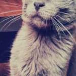 image joli chat bleu male