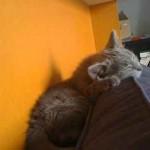 Photo chat qui dort sur canapé
