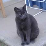 chat bleu photo