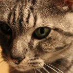 Photo gros plan de chat