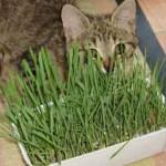 photo chat herbe à chat