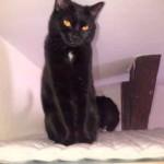 chat noir yeux cuivre avec tache blance