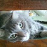 photo chat gris qui regarde
