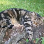 Chat tigré dort dans le jardin