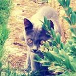 chaton bleu dans jardin