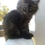 chaton persan grosse tete