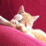 petit chat roux qui dort