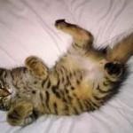 Photo chaton tigré sur le dos