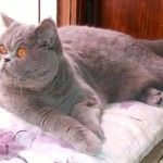 chat Exotic shorthair bleu