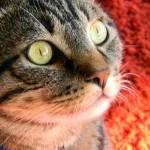 photo yeux de chat